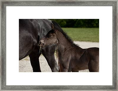Black Foal Framed Print