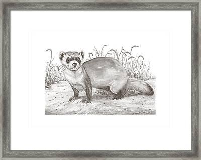 Black-foot Ferret Framed Print by Gary Pritts