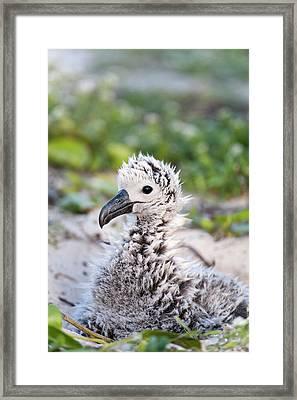 Black-footed Albatross / Phoebastria Framed Print by Daisy Gilardini
