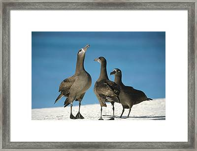 Black-footed Albatross Gamming Group Framed Print by Tui De Roy