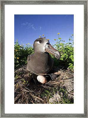 Black-footed Albatross Framed Print