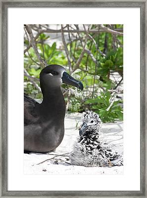 Black-footed Albatross (phoebastria Framed Print by Daisy Gilardini