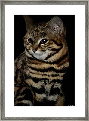 Black-footed Cat Framed Print by Maria Urso