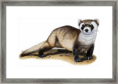 Black-footed Ferret Framed Print by Roger Hall