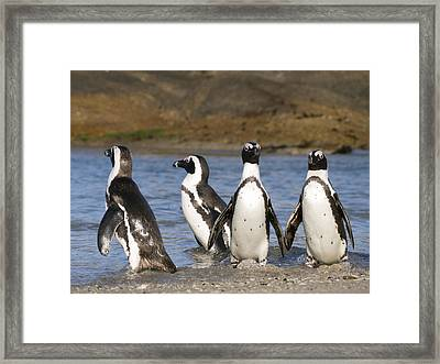 Black-footed Penguins On Beach Cape Framed Print by Alexander Koenders