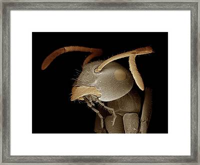 Black Garden Ant Head Framed Print by Clouds Hill Imaging Ltd