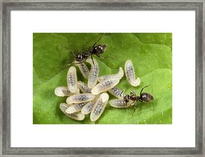Black Garden Ants Carrying Larvae Framed Print