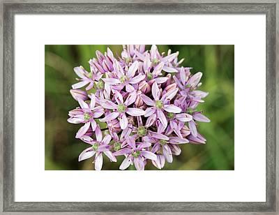 Black Garlic (allium Nigrum) In Flower Framed Print