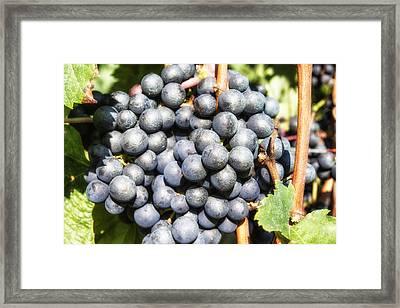 Black Grapes Framed Print by Georgia Fowler