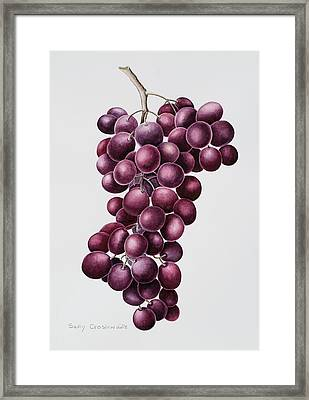 Black Grapes Framed Print by Sally Crosthwaite