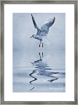 Black Headed Gull Cyanotype Framed Print by John Edwards