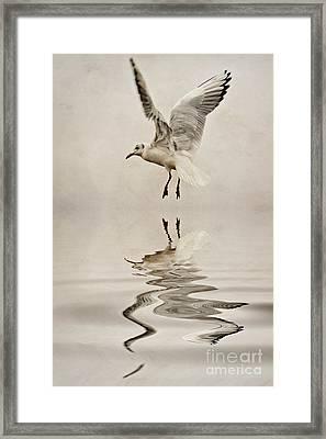 Black-headed Gull  Framed Print by John Edwards