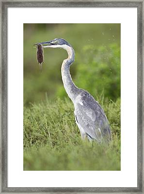 Black-headed Heron With A Shrew Framed Print by Science Photo Library