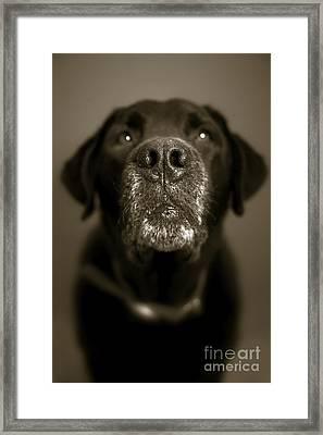 Black Lab Nose Framed Print by Diane Diederich