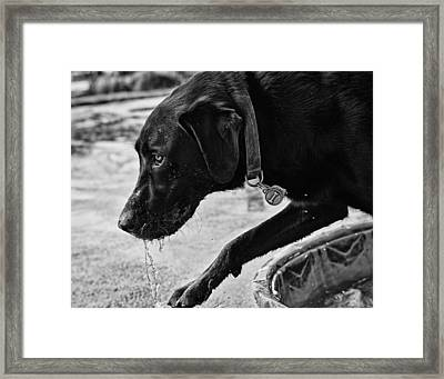 Black Lab Playing In Water Framed Print by Robert Durbeck