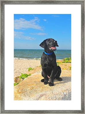 Black Lab Puppy Framed Print by Catherine Reusch Daley