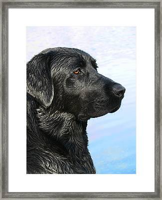 Black Labrador Retriever After The Swim Framed Print