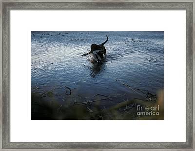 Black Labrador Retriever Brings Framed Print by Ron Sanford