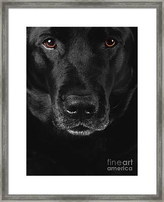Black Labrador Retriever Framed Print by Diane Diederich