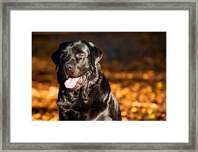Black Labrador Retriever In Autumn Forest 2 Framed Print by Jenny Rainbow