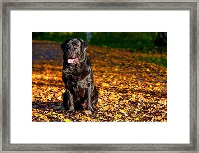 Black Labrador Retriever In Autumn Forest Framed Print by Jenny Rainbow
