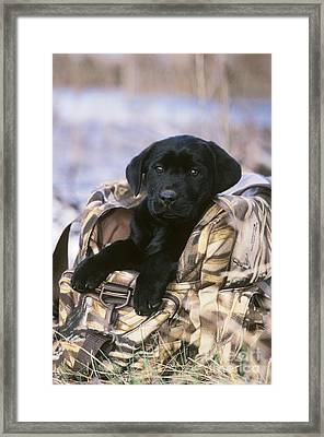 Black Labrador Retriever Puppy Framed Print by William H. Mullins