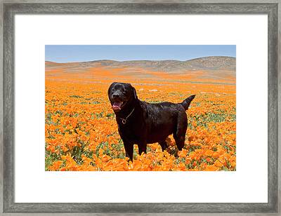 Black Labrador Retriever Standing Framed Print