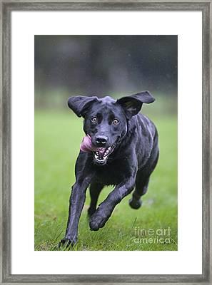 Black Labrador Running Framed Print by Johan De Meester