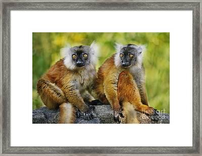 Black Lemur Female Framed Print