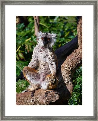 Black Lemur Framed Print by Jouko Lehto