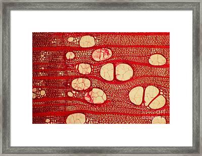 Black Locust Tree Vessels Framed Print