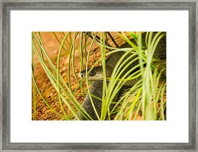 Black Mamba Resting Framed Print by Douglas Barnett