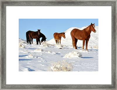 Black N' Brown Mustangs In Snow Framed Print by Vinnie Oakes