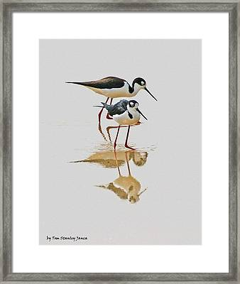 Black Neck Stilts Togeather Framed Print