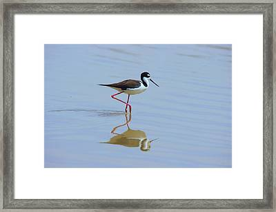 Framed Print featuring the photograph Black Necked Stilt by David Rizzo
