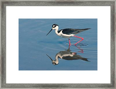 Framed Print featuring the photograph Black-necked Stilt - Huntington Beach California by Ram Vasudev