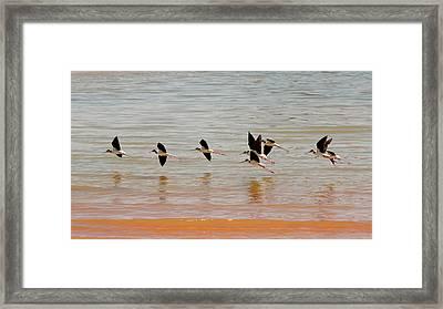 Black-necked Stilt - Lake Powell Framed Print by Julie Niemela