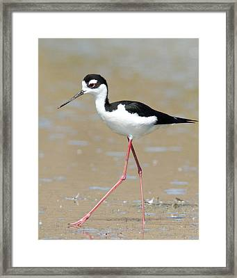 Black-necked Stilt Framed Print