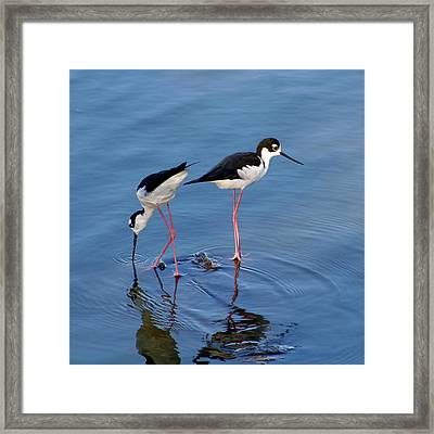 Framed Print featuring the photograph Black-necked Stilts by Bob and Jan Shriner