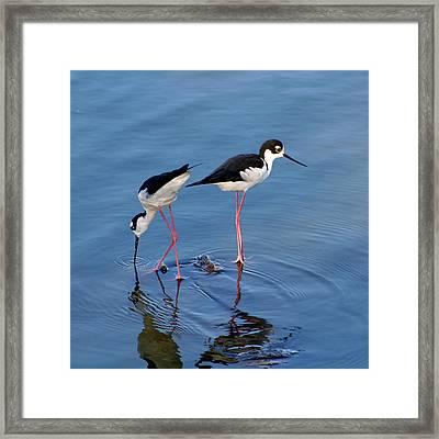 Black-necked Stilts Framed Print by Bob and Jan Shriner