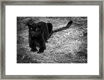 Black On Black Leopards Framed Print