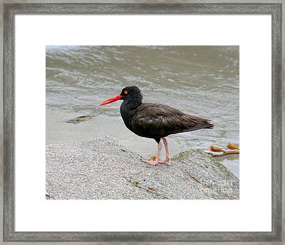 Framed Print featuring the photograph Black Oystercatcher-1 by Bob and Jan Shriner