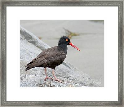 Framed Print featuring the photograph Black Oystercatcher-2 by Bob and Jan Shriner