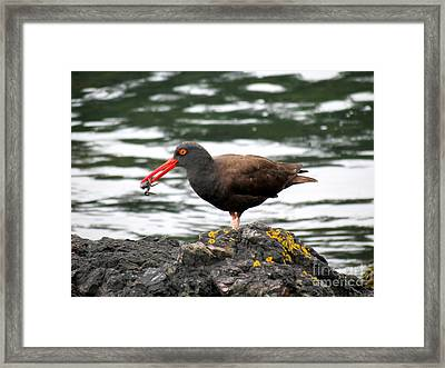 Black Oystercatcher With Crab Framed Print by Gayle Swigart