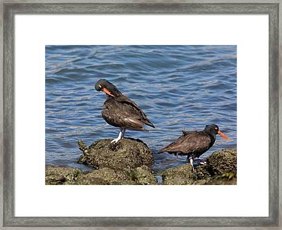 Black Oystercatchers Feeding Framed Print by Bob Gibbons