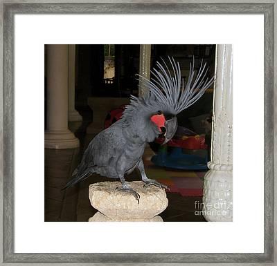 Black Palm Cockatoo Framed Print by Sergey Lukashin