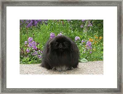 Black Pekingese Dog Looking At Camera Framed Print