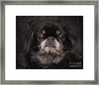 Black Pekingese Framed Print