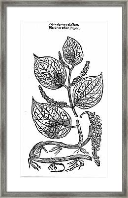 Black Pepper Framed Print by Universal History Archive/uig