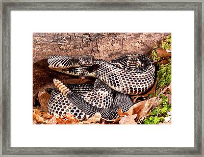 Black Phase Timber Rattlesnake Framed Print by David Northcott